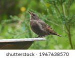Young Common Starling In A Bird ...