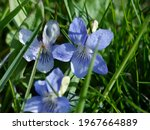 Beautiful Violet Flowers In The ...