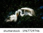 Pair Of Great White Egrets...