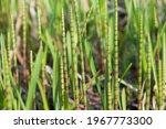 Equisetum Fluviatile   Water...