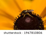 A Bee Pollinating A Yellow...