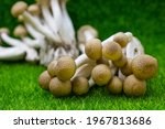 Hon Shimeji  Mushroom Or Bunna...