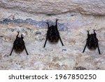 Close Up Of Three Bats Holding...