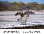 Pelican On A Wooden Pier....