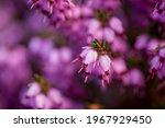 A Sprig Of Purple Flowers Erica ...
