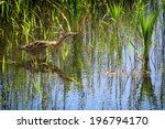 Eurasian Bittern (Botaurus stellaris) hunting in the reed bed