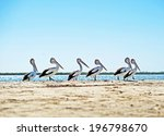 Line of pelicans on an...