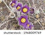 Bunch Of Purple Crocus Flowers...