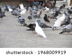 The Pigeons Living On Discarded ...