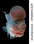 Movement Of Flowerhorn Cichlid...