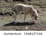 Purebred Anatolian Shepherd Dog ...