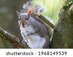 A Single Grey Squirrel  Sciurus ...