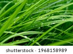 Fresh Green Grass With Water...