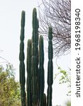 View Of Tall Cactus Plant...