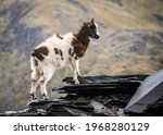 Small photo of Welsh mountain goats wild in rocky slate quarry mine hillside. Bearded exploring hillside of Snowdonia will long hair and horns roaming the wilderness countryside with hillside behind.