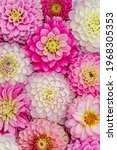 Rose White Dahlia Flowers With...