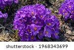 Wild Purple Flowering Crocuses...