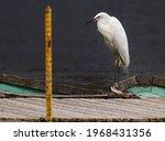 image of great egret ardea alba