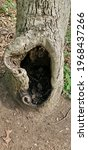 A Large Tree Hole In A Large...