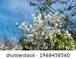 beautiful spring blossom of... | Shutterstock . vector #1968458560
