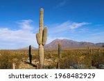 Tall Cactus Bush Tree Plant In...