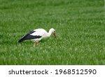 Adult european white stork...