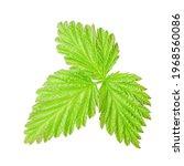 Green Raspberry Leaf Isolated...