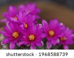 Mammillaria Schumannii Cactus...