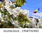 Beautiful Cherry Blossoms...