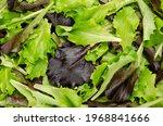 fresh picked loose leaf lettuce ...   Shutterstock . vector #1968841666