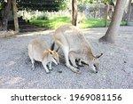 Kangaroo Mother With Her Baby...