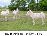Three White Donkeys On The...