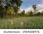 The Landscape Of Red Siam Tulip ...