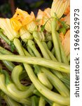 Small photo of the trombetta courgette from Albenga is an elongated courgette typical of the western coast of Liguria