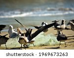 Seagull And Brown  Pelican Are...