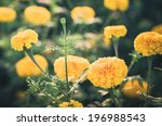 marigolds or tagetes erecta... | Shutterstock . vector #196988543