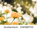 marigolds or tagetes erecta... | Shutterstock . vector #196988753