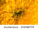 marigolds or tagetes erecta... | Shutterstock . vector #196988759