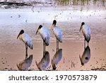 A Group Of Wood Storks Enjoying ...