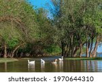 Domestic Geese And Ducks Swim...