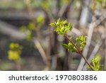 The Wild Honeysuckle Branches...