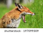 European Red Fox  Vulpes Vulpe...