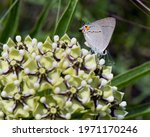Grey Hairstreak On An Antelope...