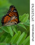 Small photo of Viceroy on a green leaf