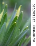 Green Leaves Of Narcissus...