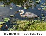 Great Blue Heron Fishing In...