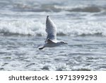 Brown Hooded Gull Beating Its...