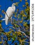 Great White Egret  Chobe...