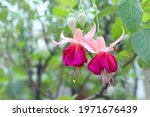 Blooming Of Fuchsia Hybrid....