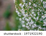 A Sprig Of White Flowers Erica...